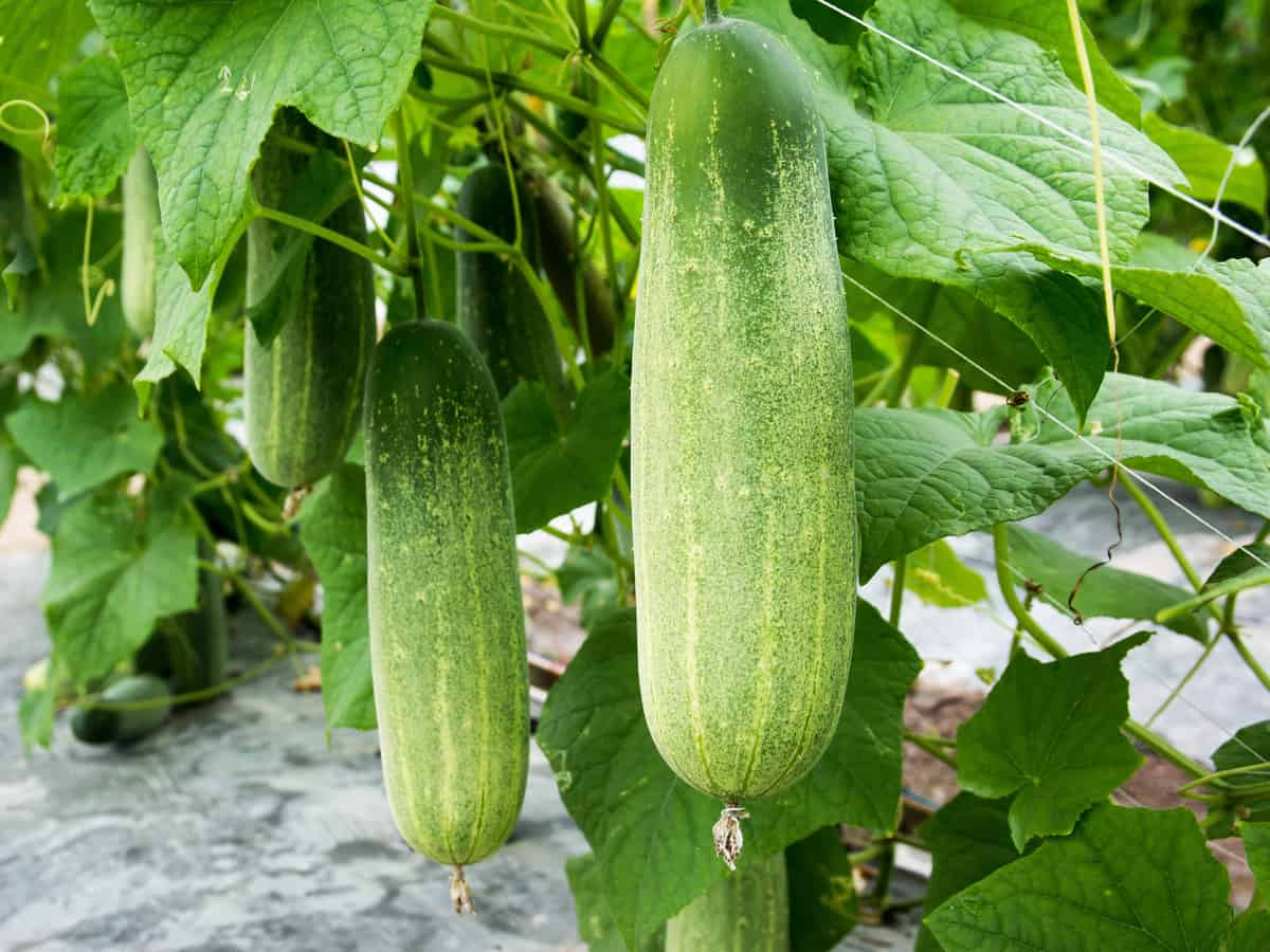 cucumbers need warm temperatures and lots of water to thrive