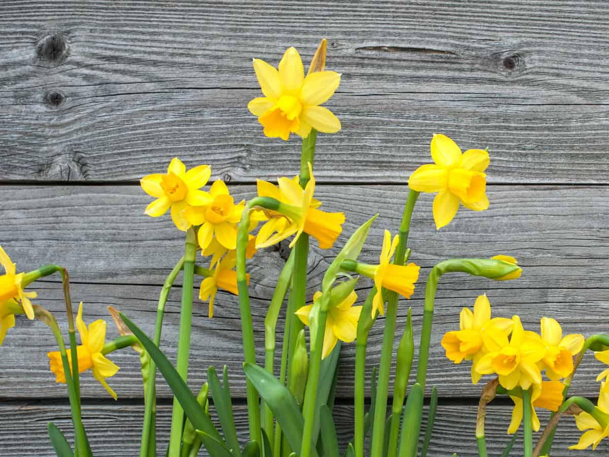 daffodils are easy to care for