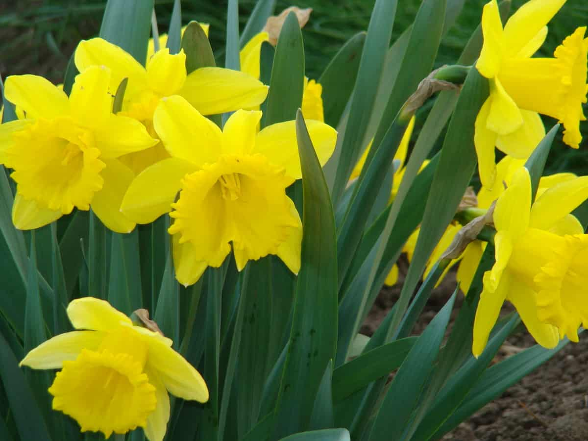 daffodils are an easy to grow perennial