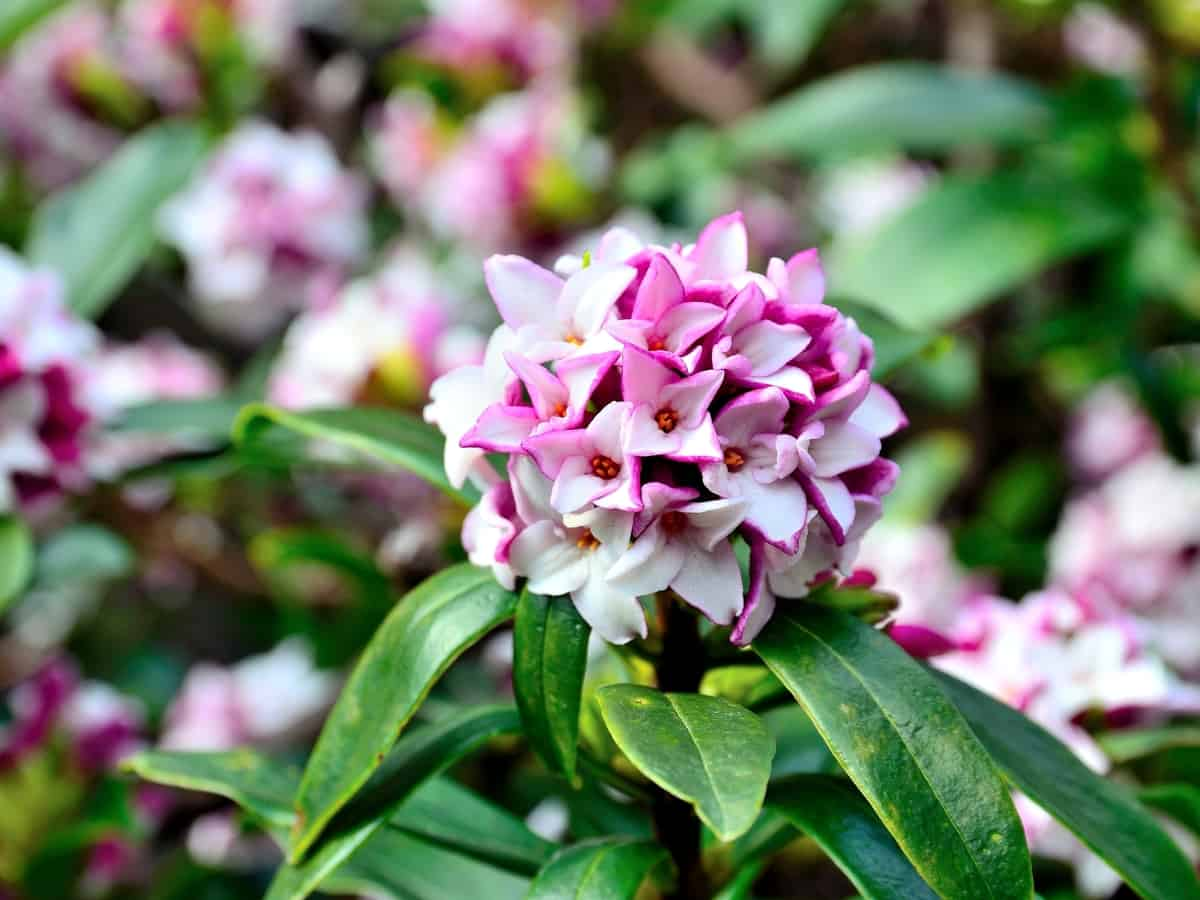 the daphne is a flowering shrub perfect for a container