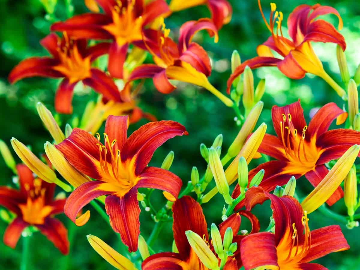 the daylily is a full sun plant that can take the heat