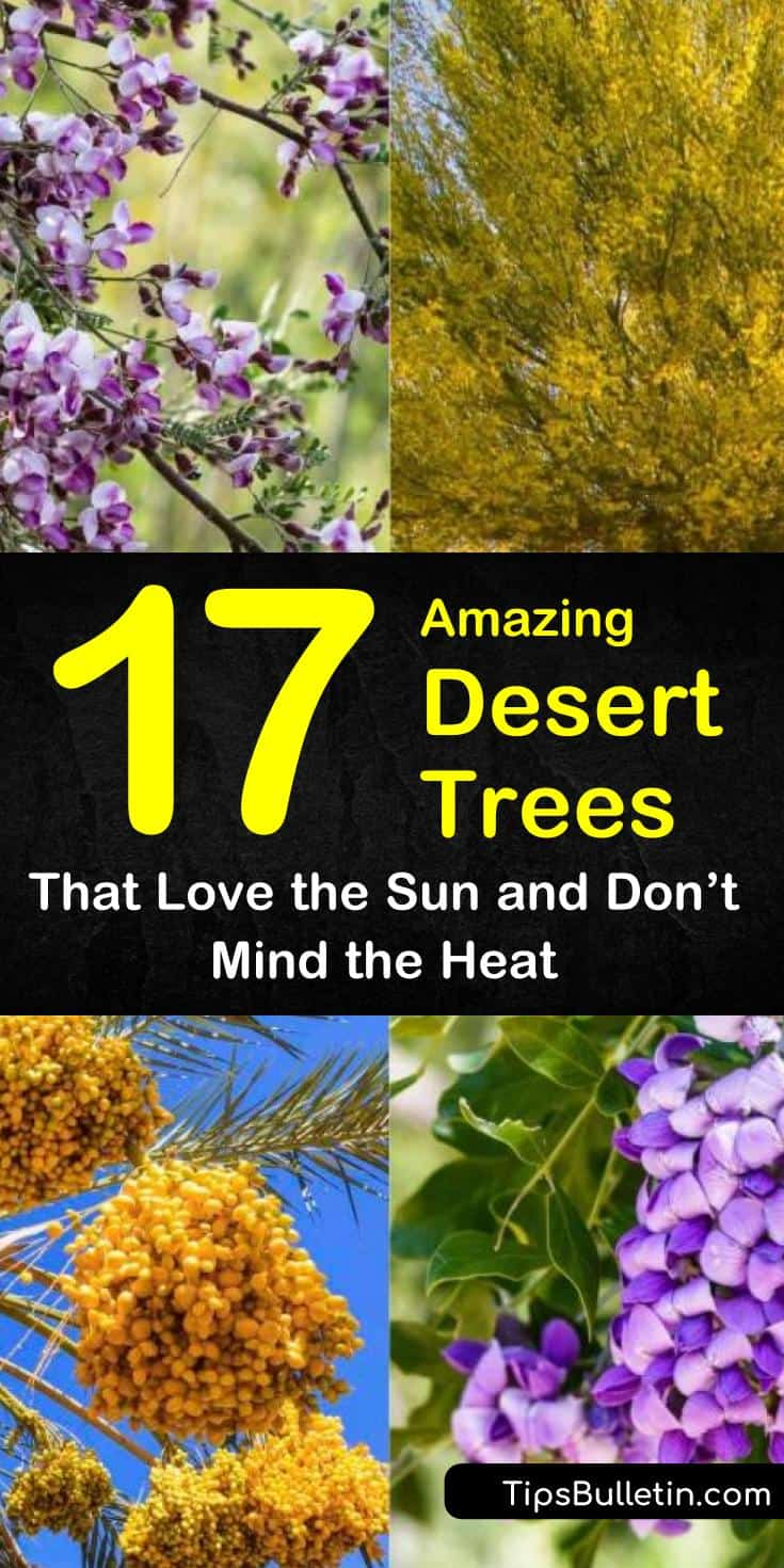 Discover the best drought tolerant small and large desert trees and shrubs for your front yards and backyards. Our guide will help you fill your desert landscape with plants and flowers for shade and beauty. #trees #desert #droughtresistant