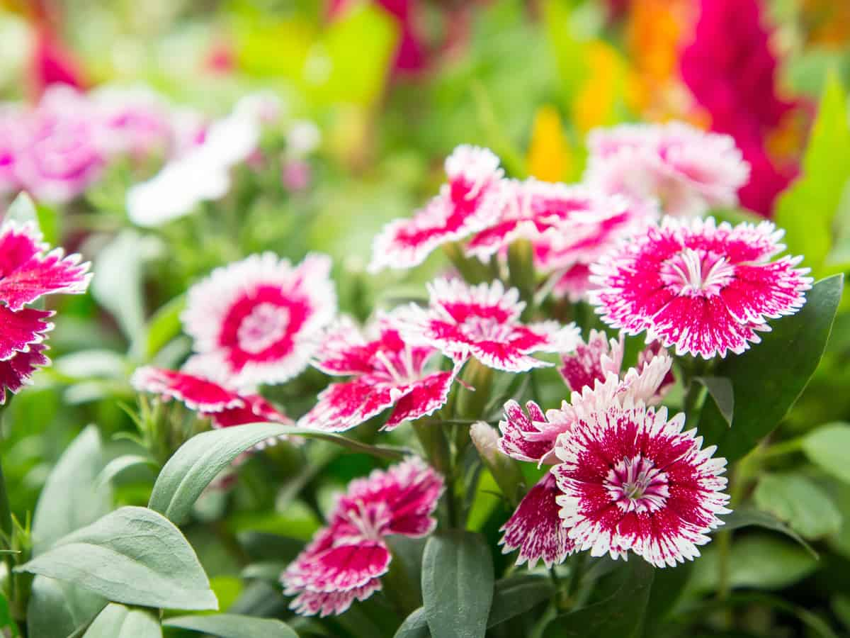 dianthus or pinks are flowers that have a great smell