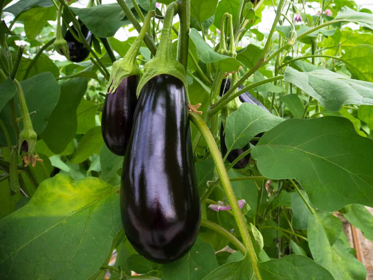 eggplant takes a long time to grow and mature