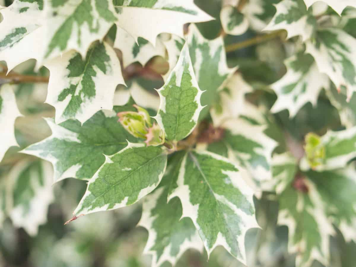 false holly is the perfect thorny bush for home defense