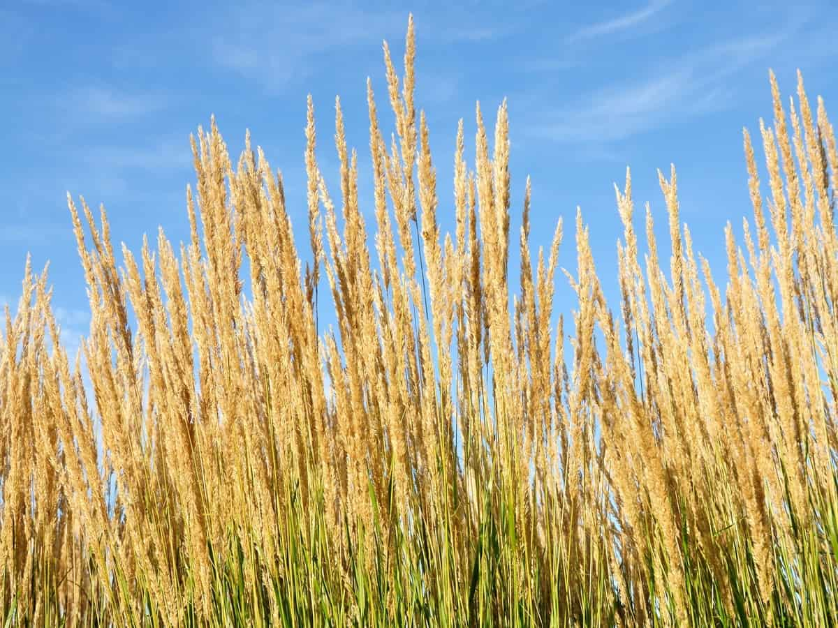 feather reed grass is an ornamental that needs full sun