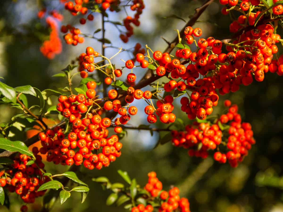 firethorn is an excellent plant for the perimeter of your home
