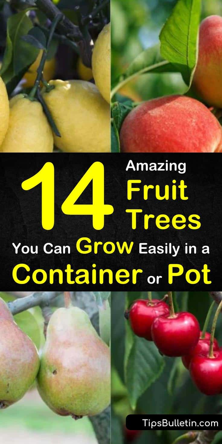 Learn how to grow delicious fruit trees in your own home! Perfect for small spaces, these container fruit trees are the best way to get fresh fruit all year-round! #fruittrees #containergardening