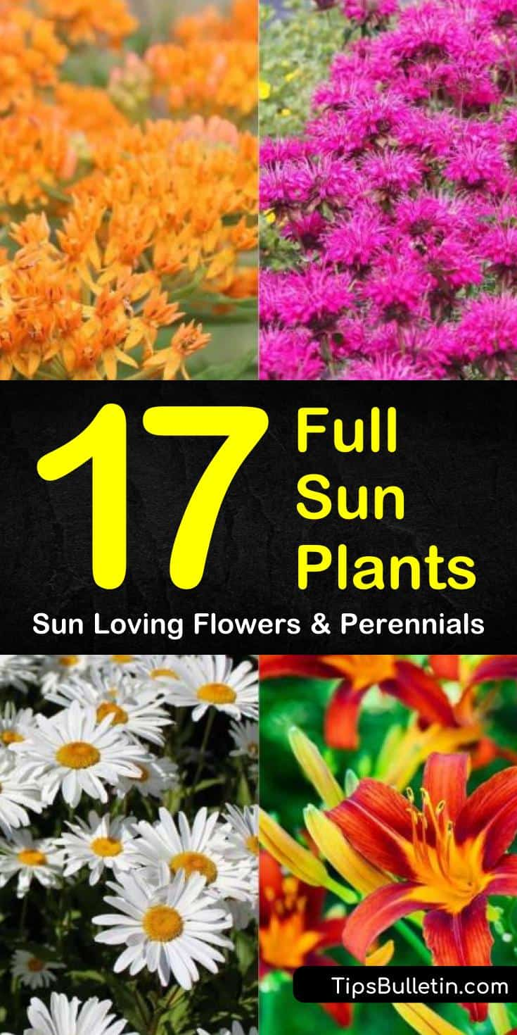 Learn which sun loving perennials and flowers work best for your garden! These low maintenance flowers are perfect for front yards and pots and will grow even for beginners. #fullsunplants #sunnygarden #perennials