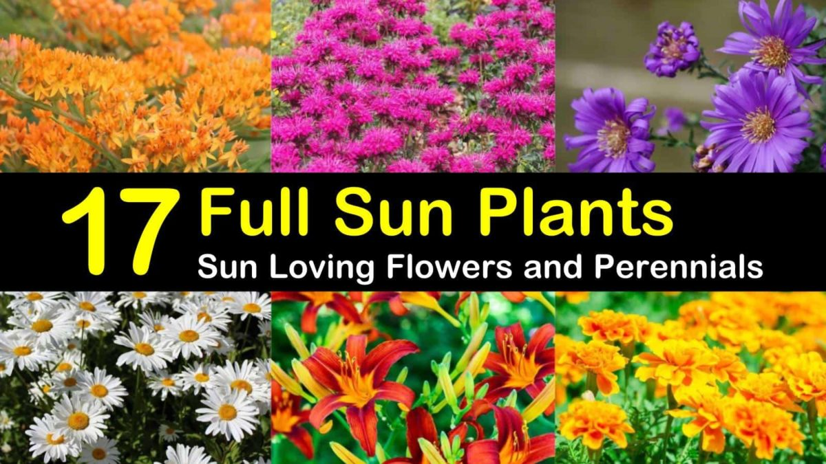 17 Full Sun Plants Sun Loving Flowers And Perennials