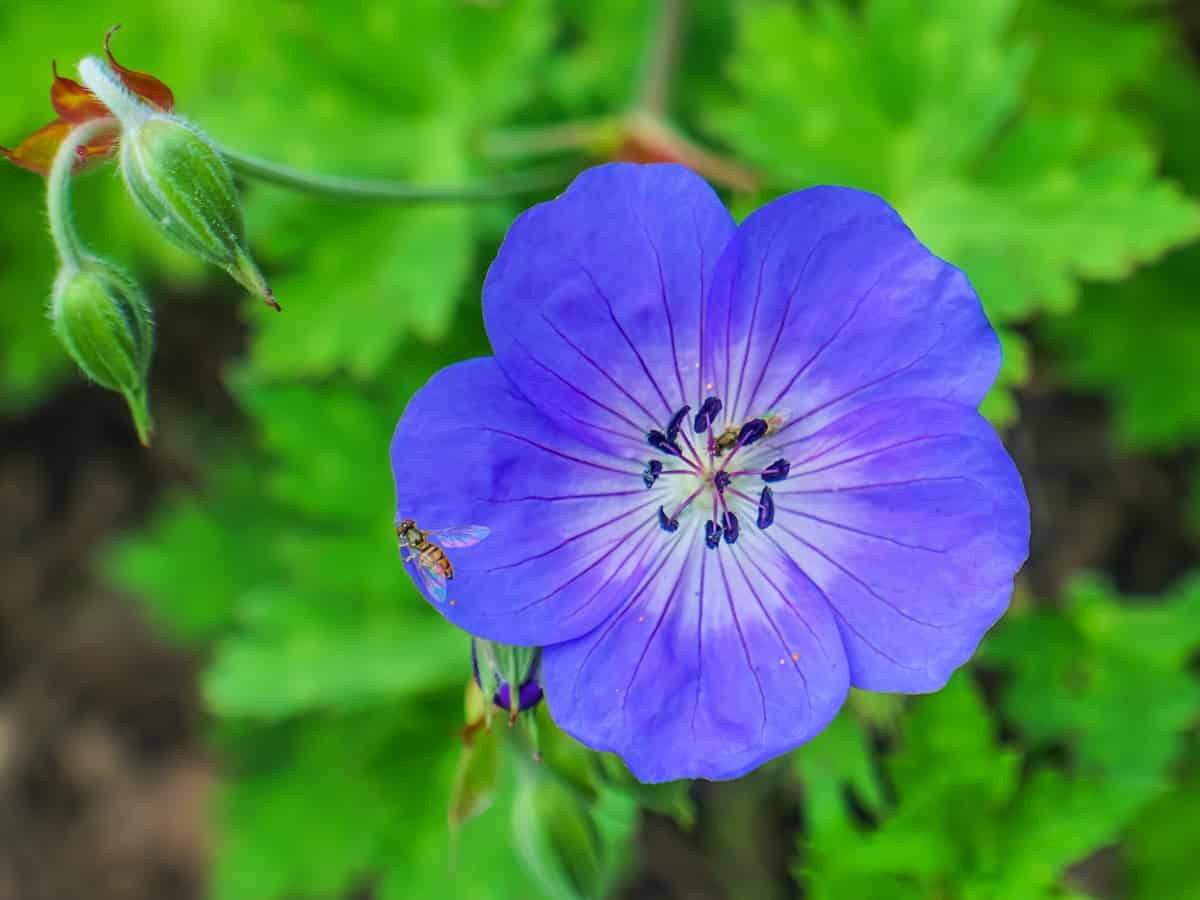 the geranium is a great low maintenance flower for beginners