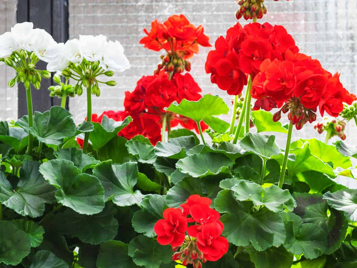 geraniums are a natural cat deterrent