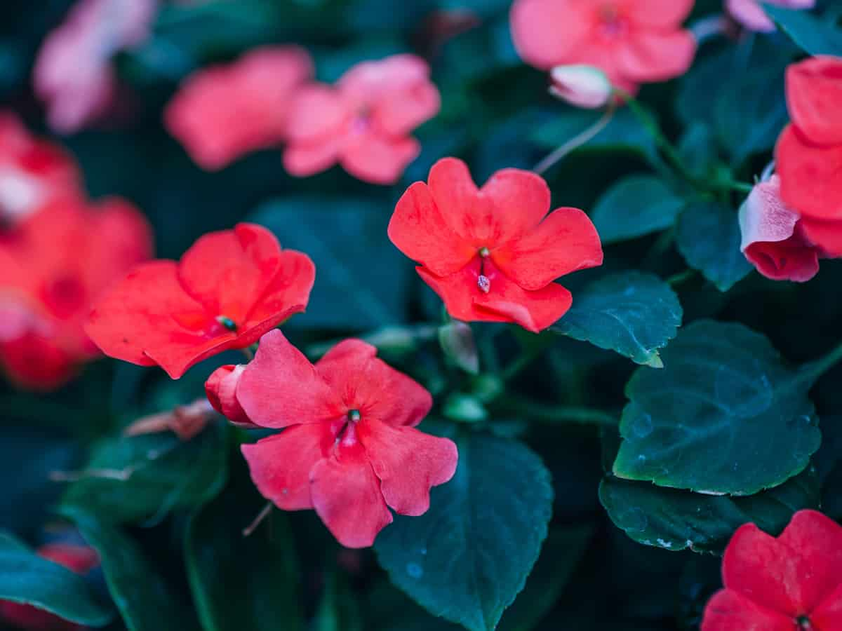 the gloxinia is a plant with beautiful leaves and flowers