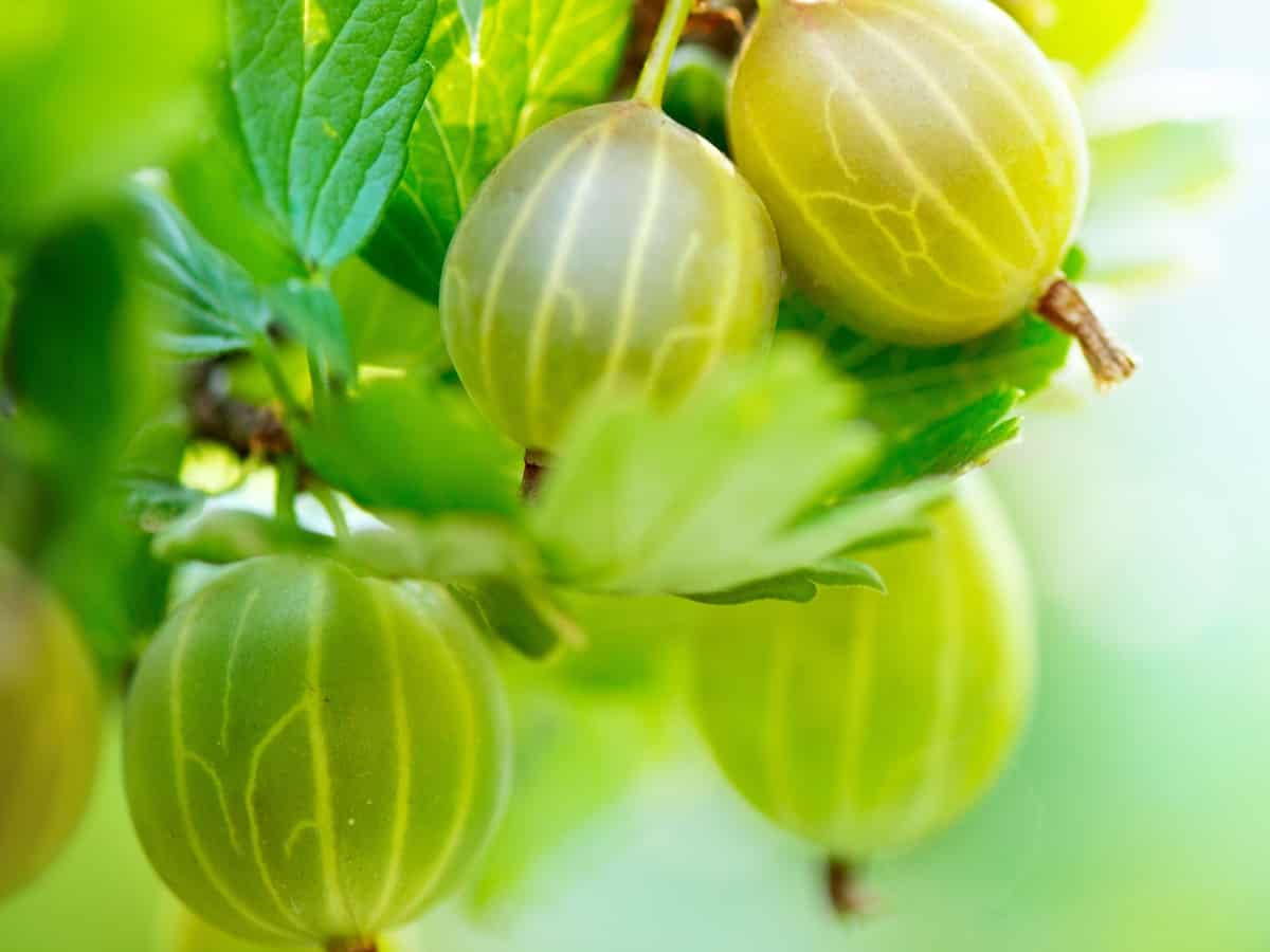 fuschia flowered gooseberry is easy to care for