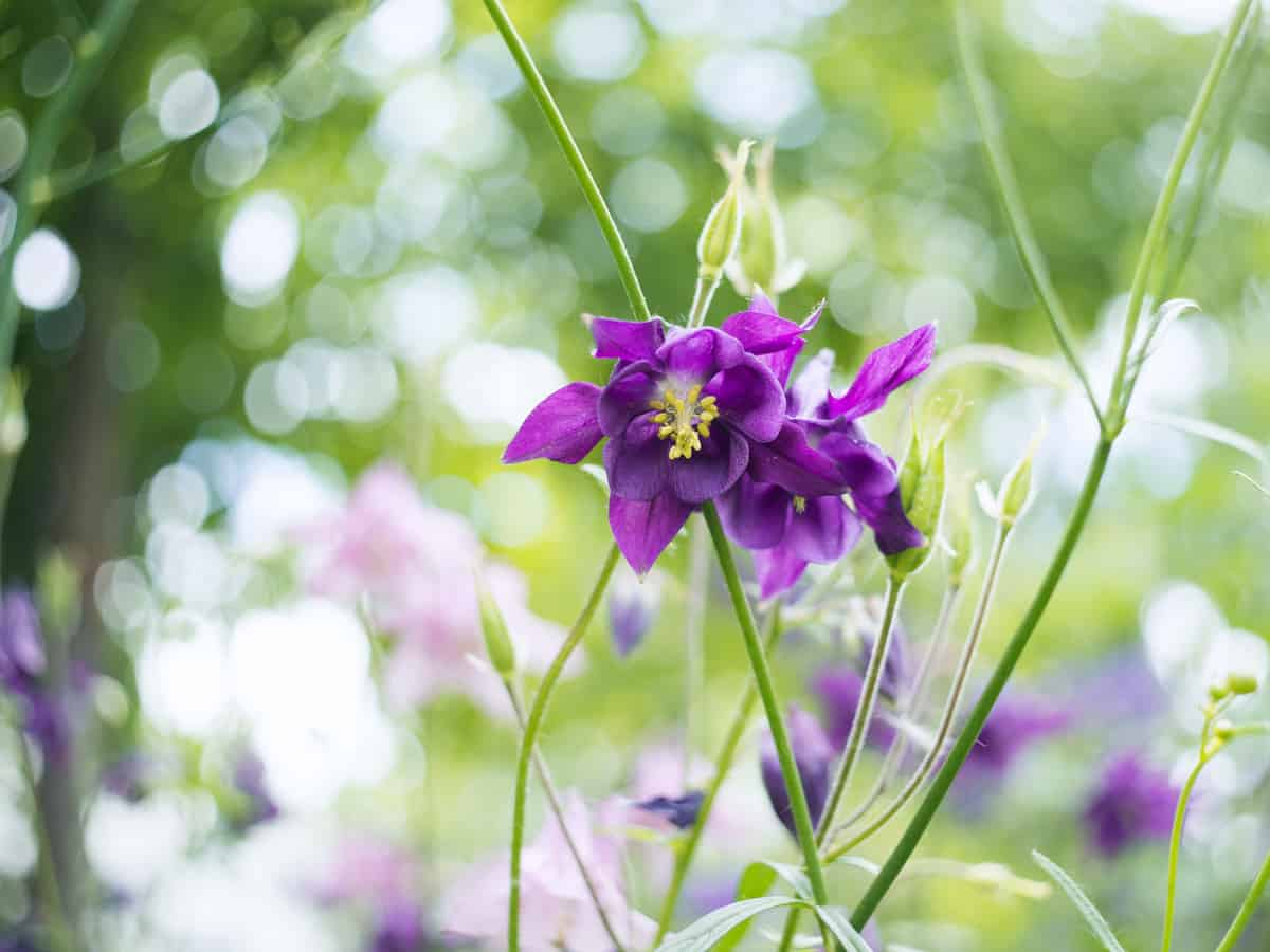 granny's bonnet is also known as columbine