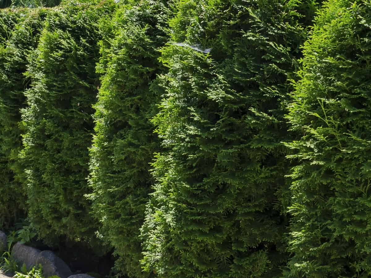 the green mountain boxwood makes an excellent topiary