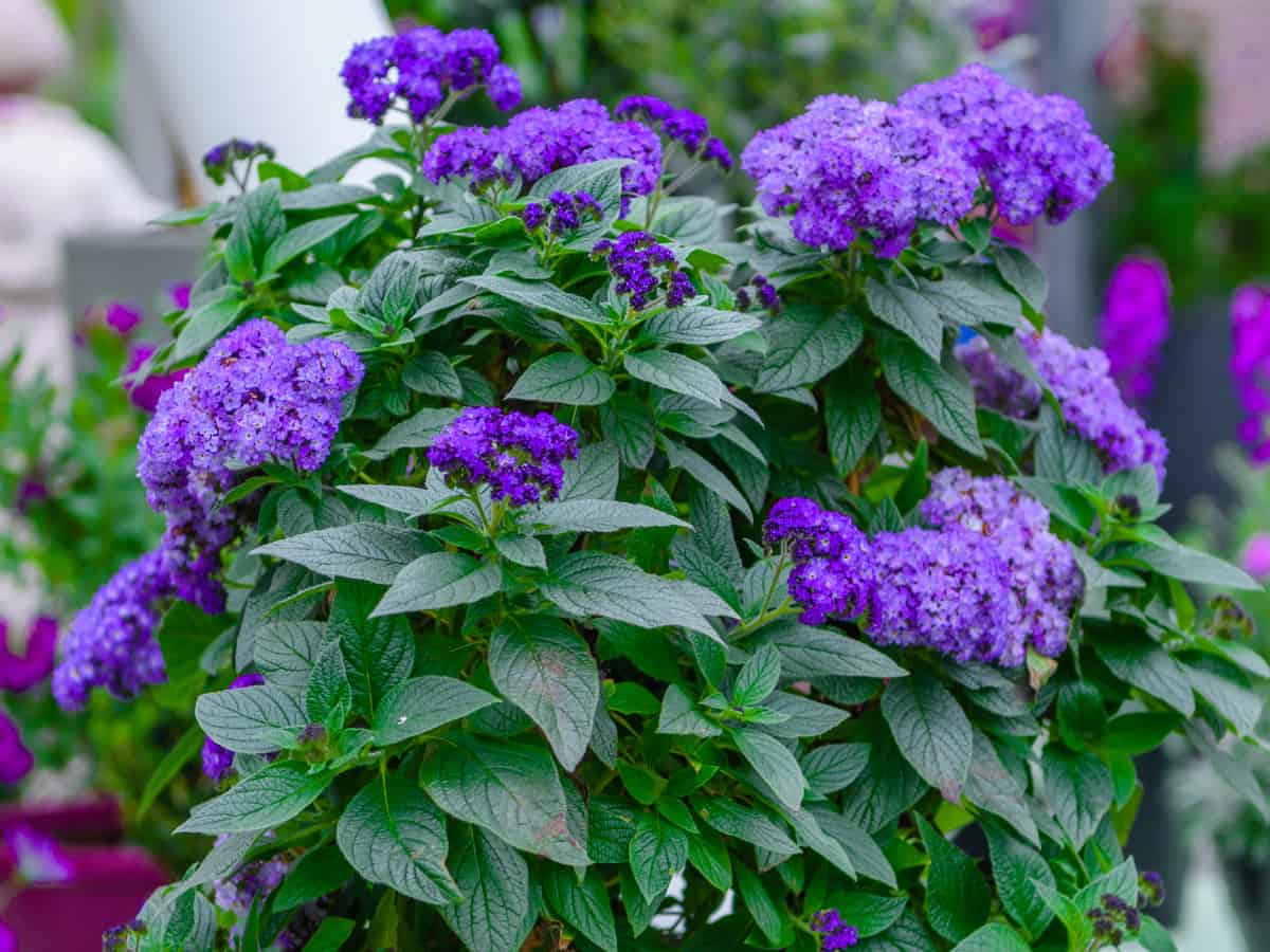 some people think the heliotrope is the best smelling flower
