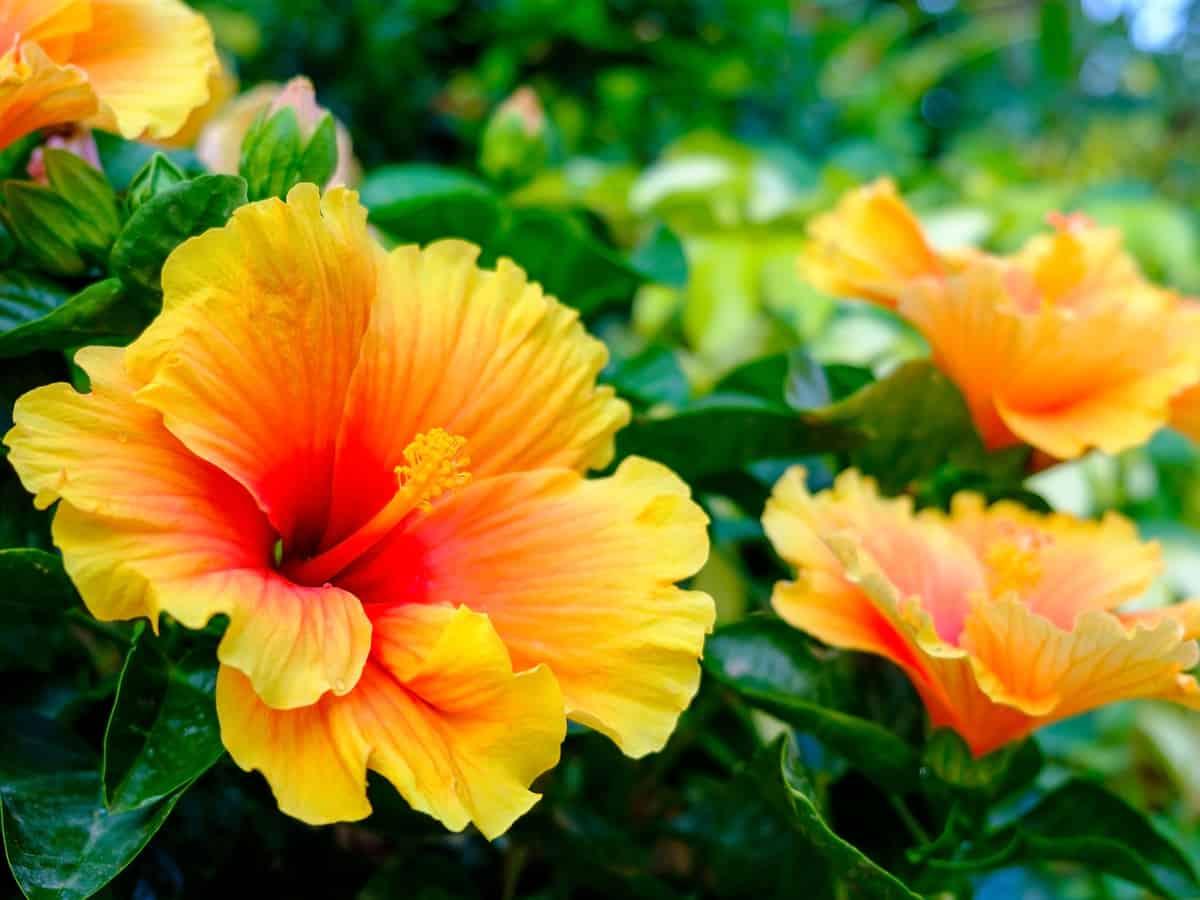 hibiscus adds tropical flavor indoors