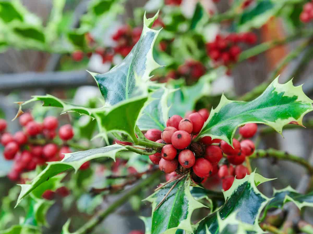 the holly is a thorny evergreen bush