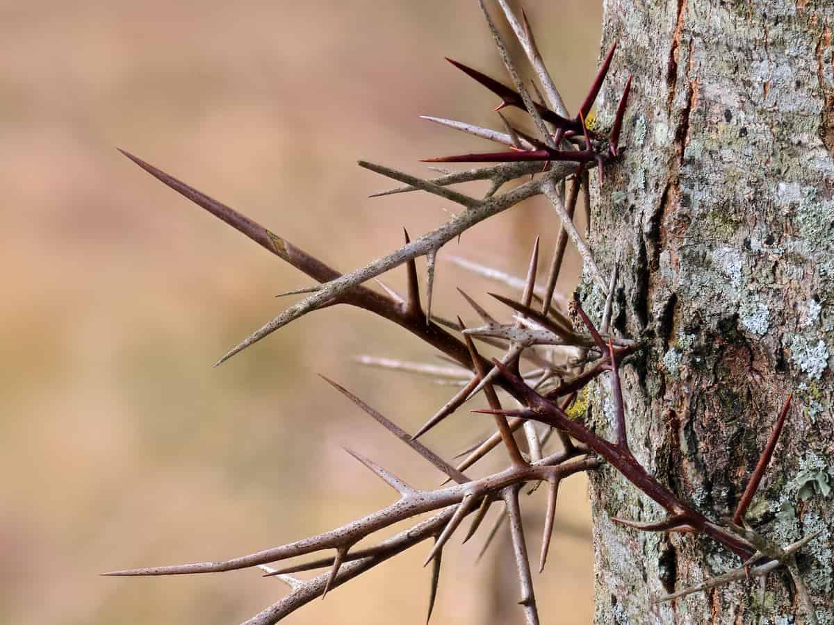 the honey locust has 6-inch thorns
