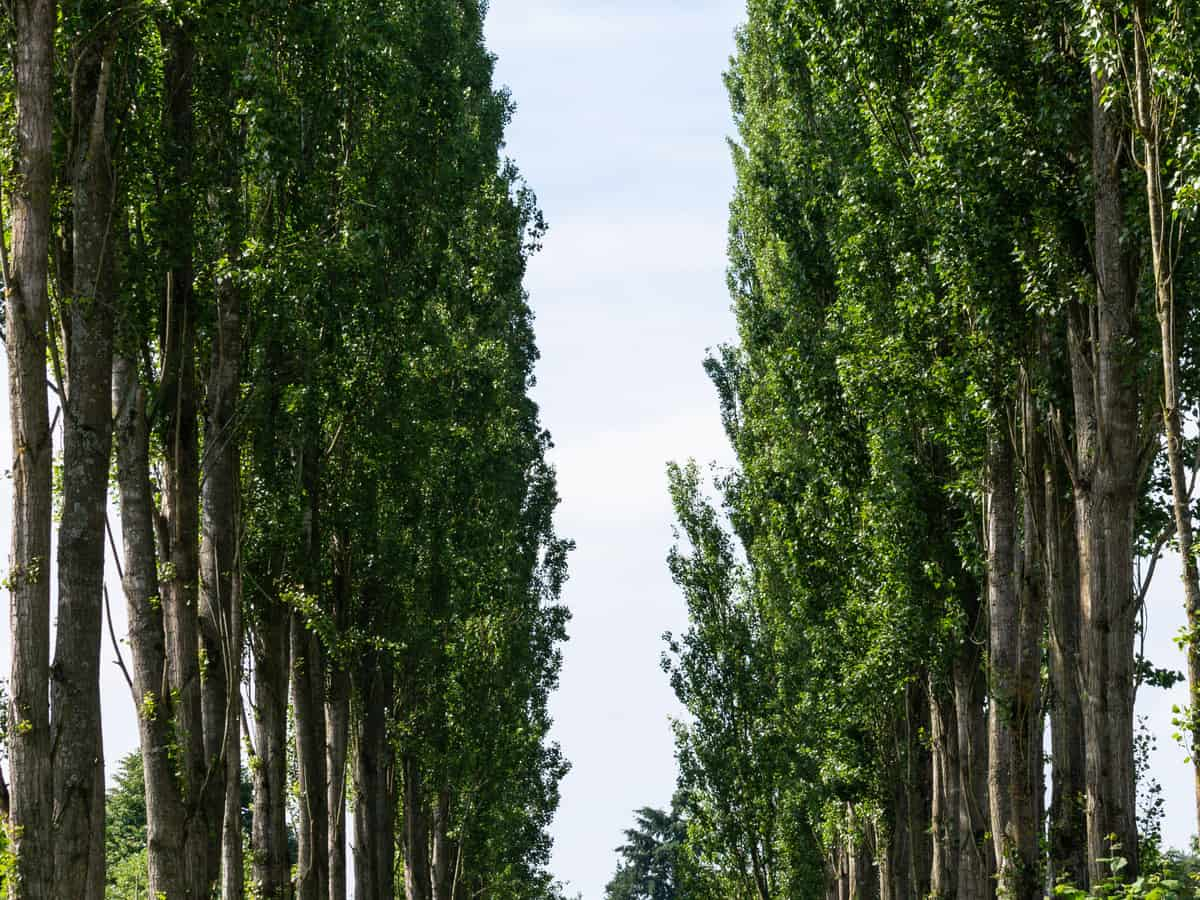 the hybrid poplar grows 5-8 feet a year
