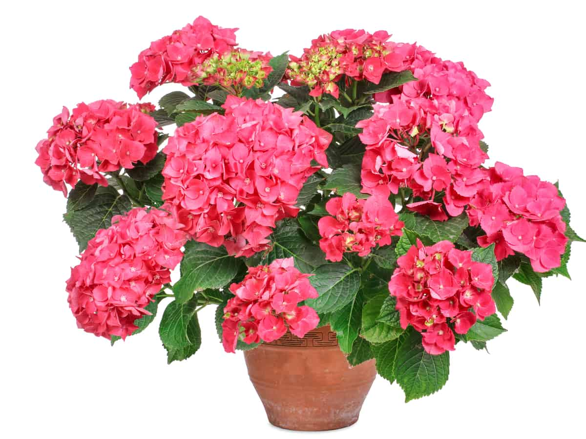 hydrangea is easy to grow in a container