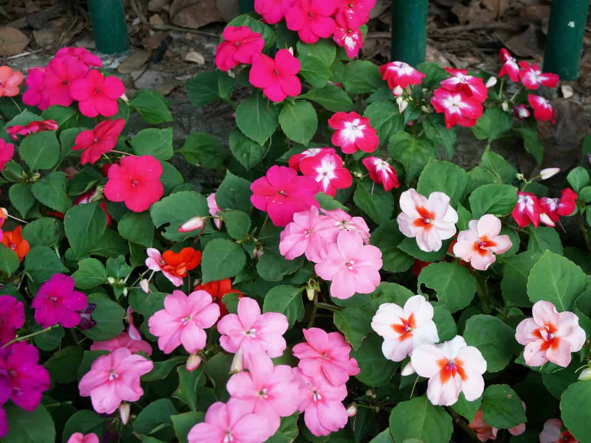 impatiens is easy for beginners to grow