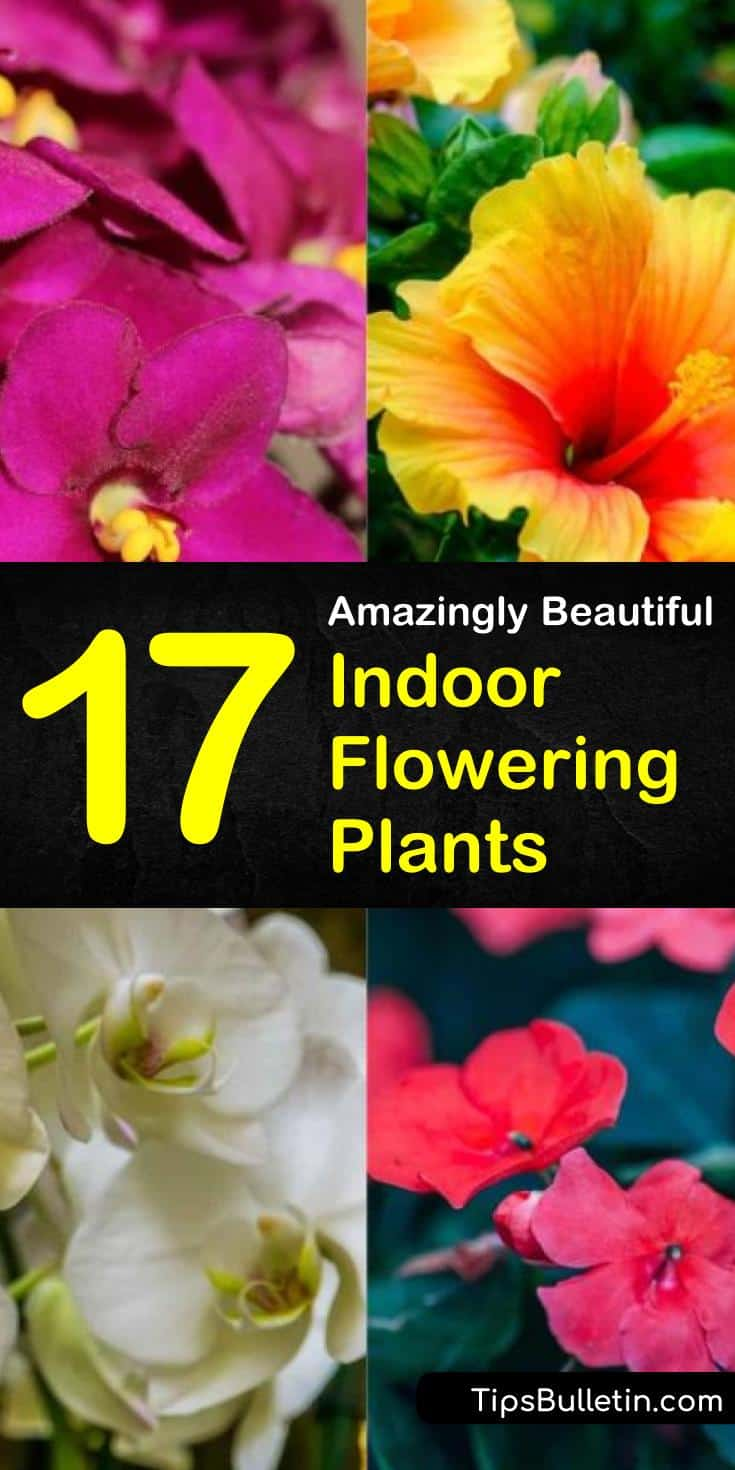 Having lots of indoor flowering plants and shrubs is a great way to spruce up our homes. Flowering plants add bursts of color and fragrance to the yard and garden, and they improve air quality and our moods. We don't all live in climates that let us grow outdoor... #flowers #growing #houseplants