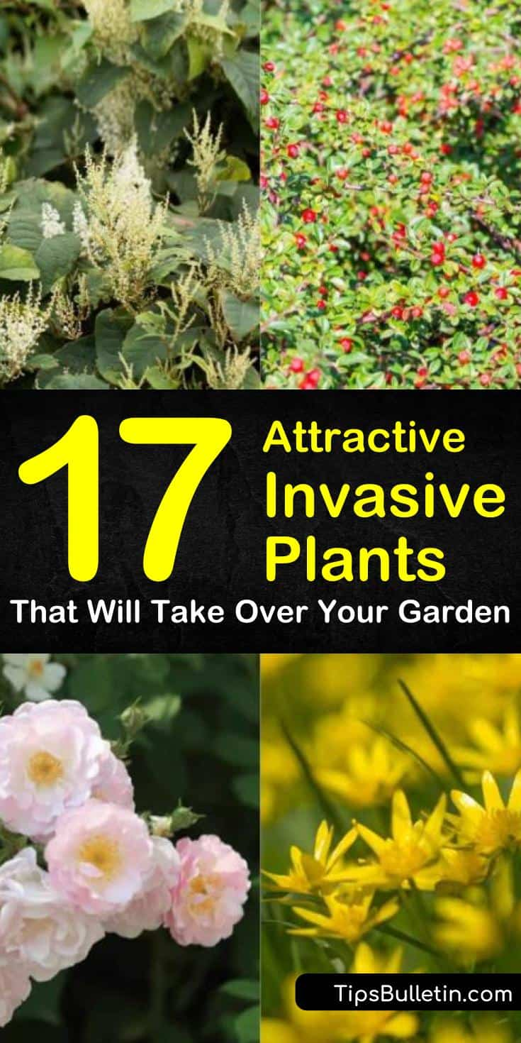 Find out how to get rid of invasive plant species from your gardens and yards. Our guide shows you the weeds to avoid and points out the perennials and vines that can take over your landscape. Make your flowers and plants in pots beautiful again with our help! #invasiveplants