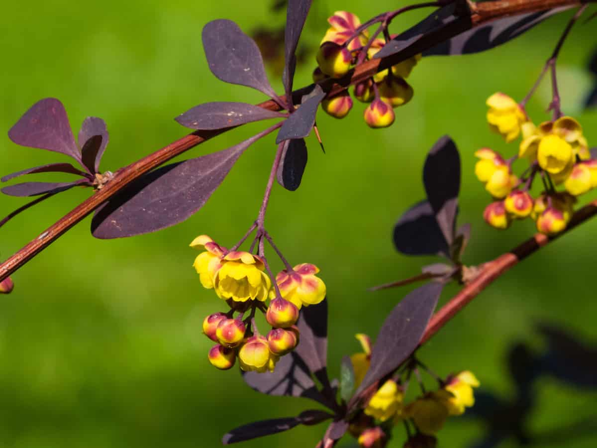 Japanese barberry is a thorny bush that has spectacular color in all seasons