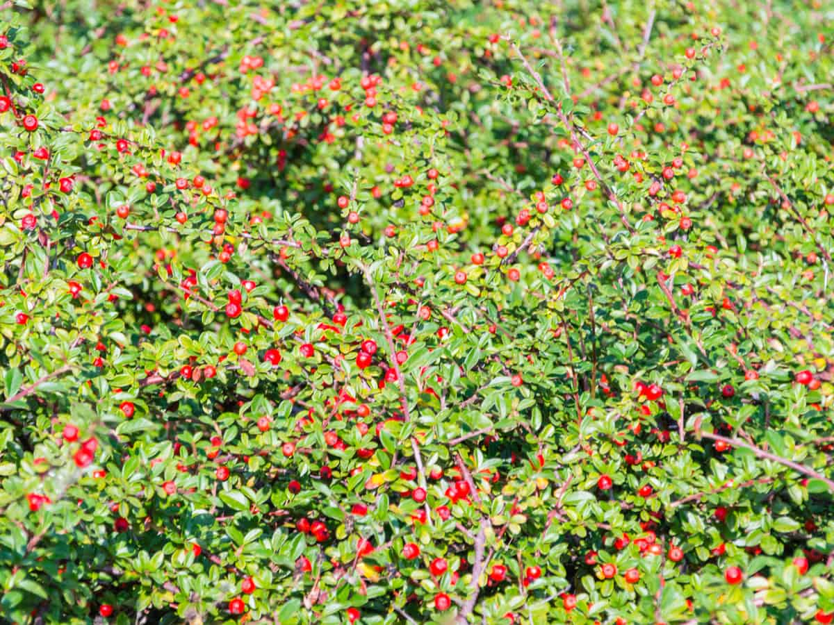Japanese barberry competes with native plants for space
