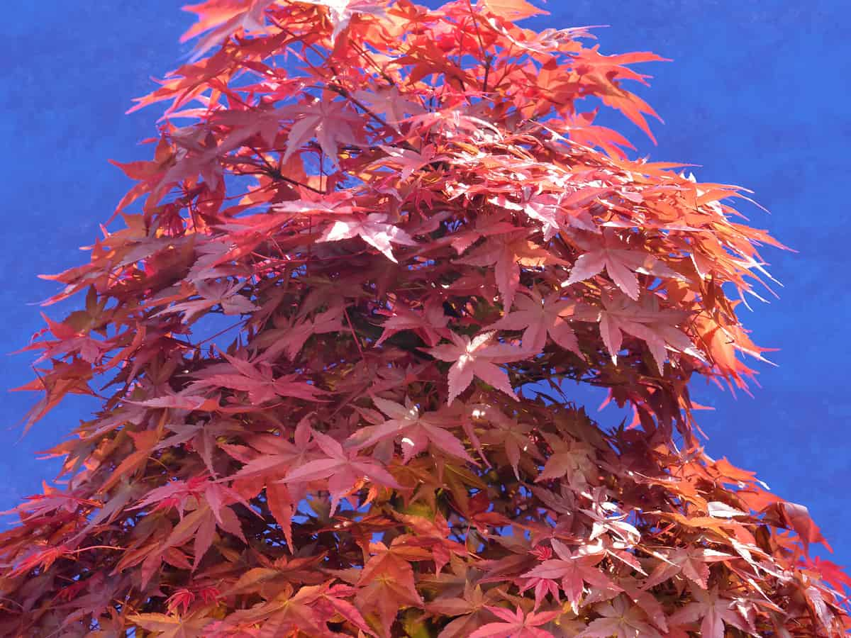 a Japanese maple in a pot by the front door really makes a statement