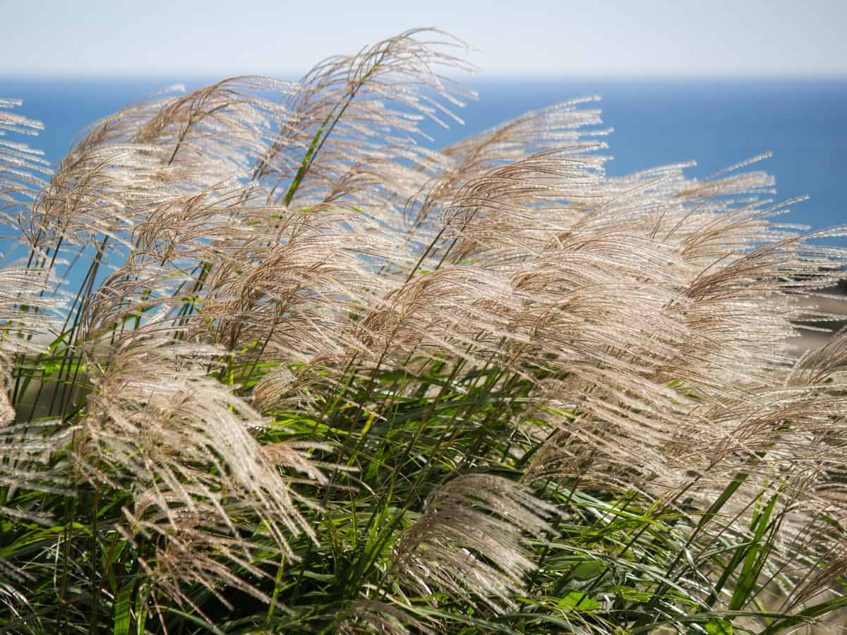 Japanese silver grass is also known as maiden grass