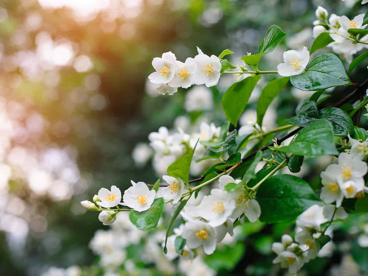 jasmine is not only a beautiful indoor flowering plant but it smells amazing, too