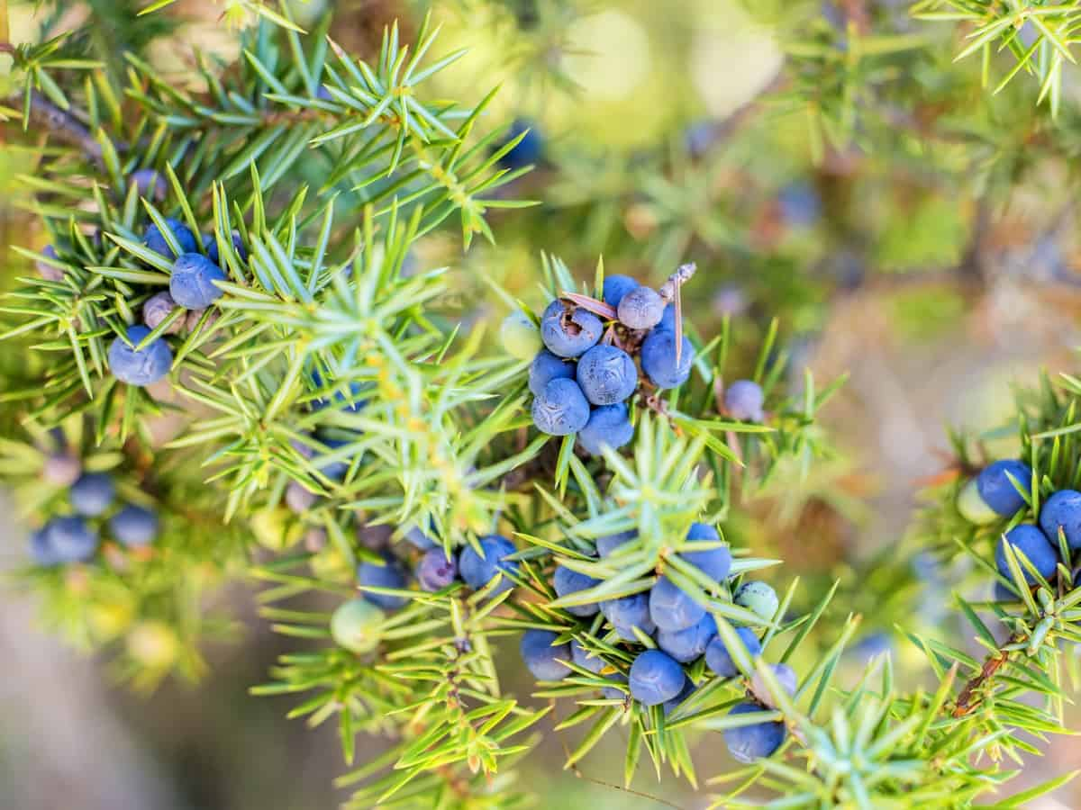 juniper is an evergreen that attracts wildlife