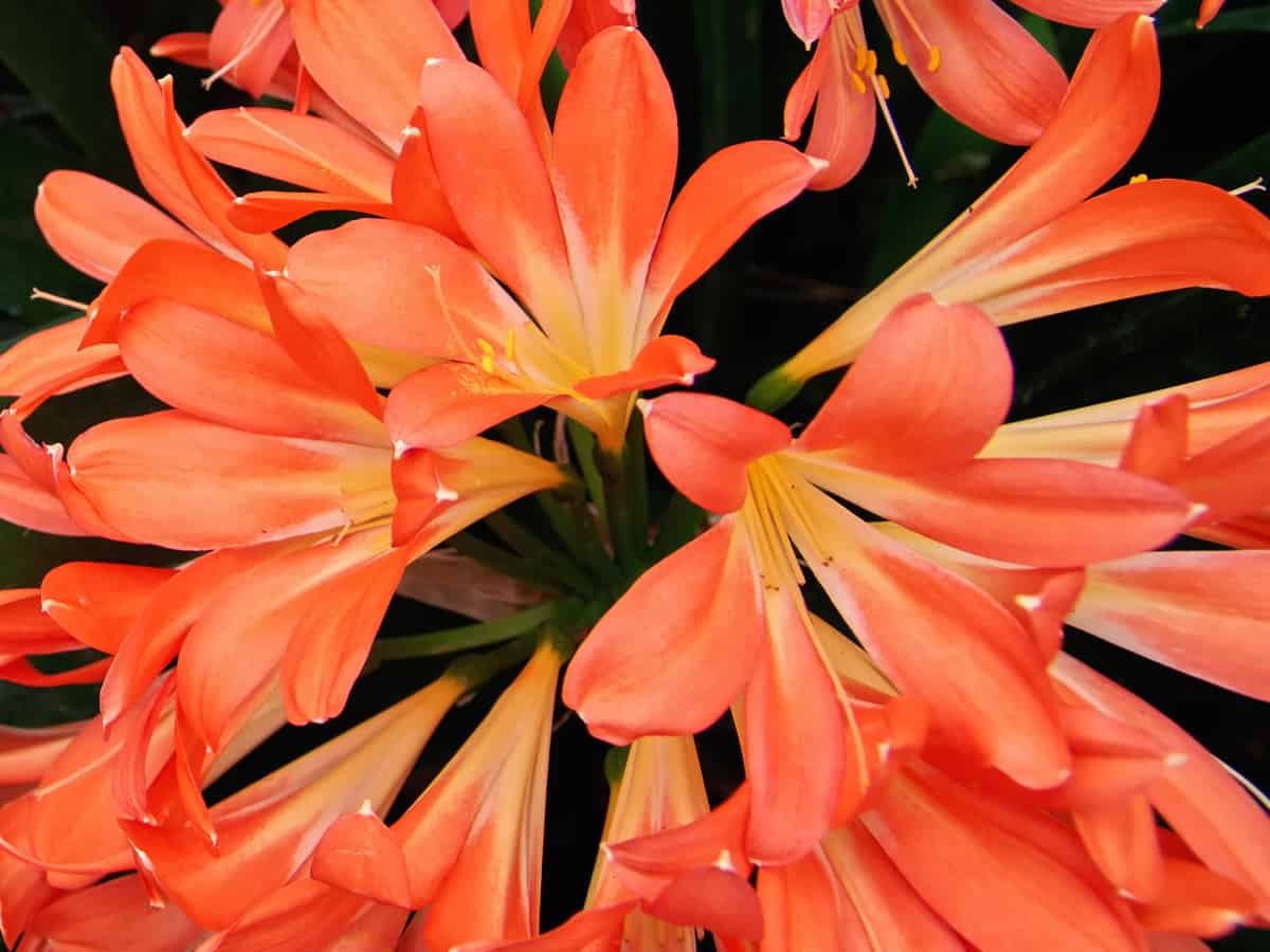 the Kaffir lily is a floweringn plant that needs cold, dry conditions
