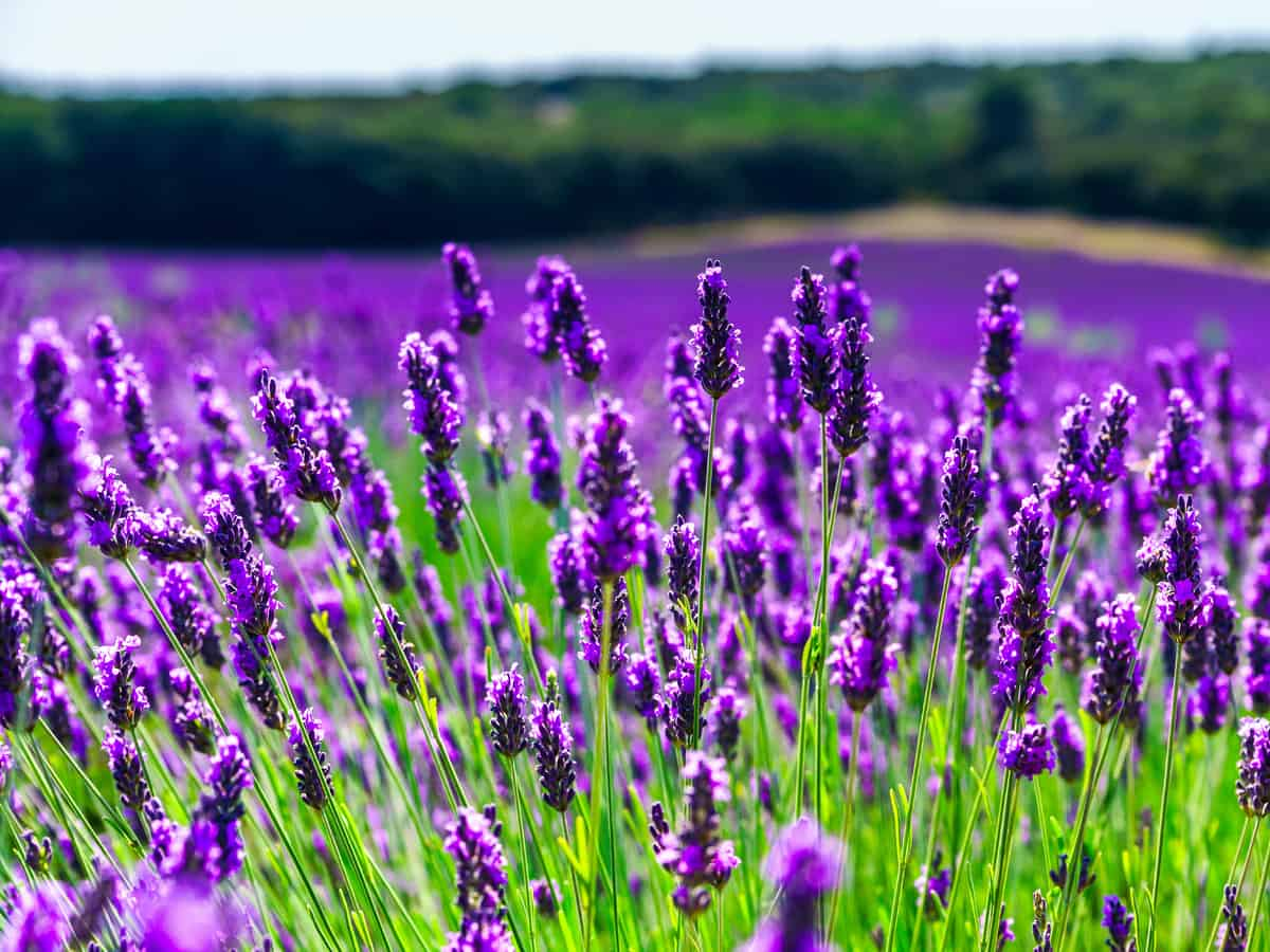 lavender has the best smell