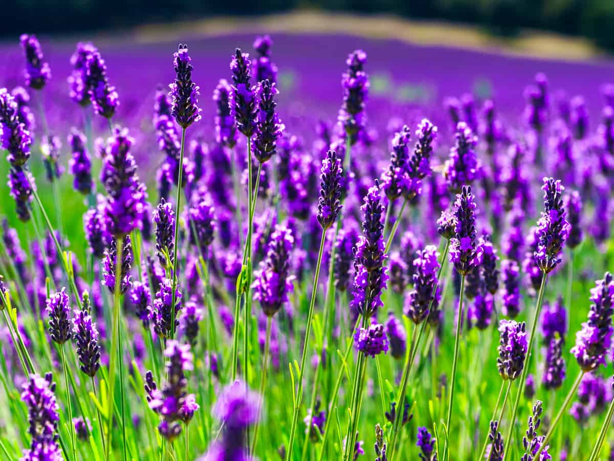 lavender is a sun loving perennial that smells great