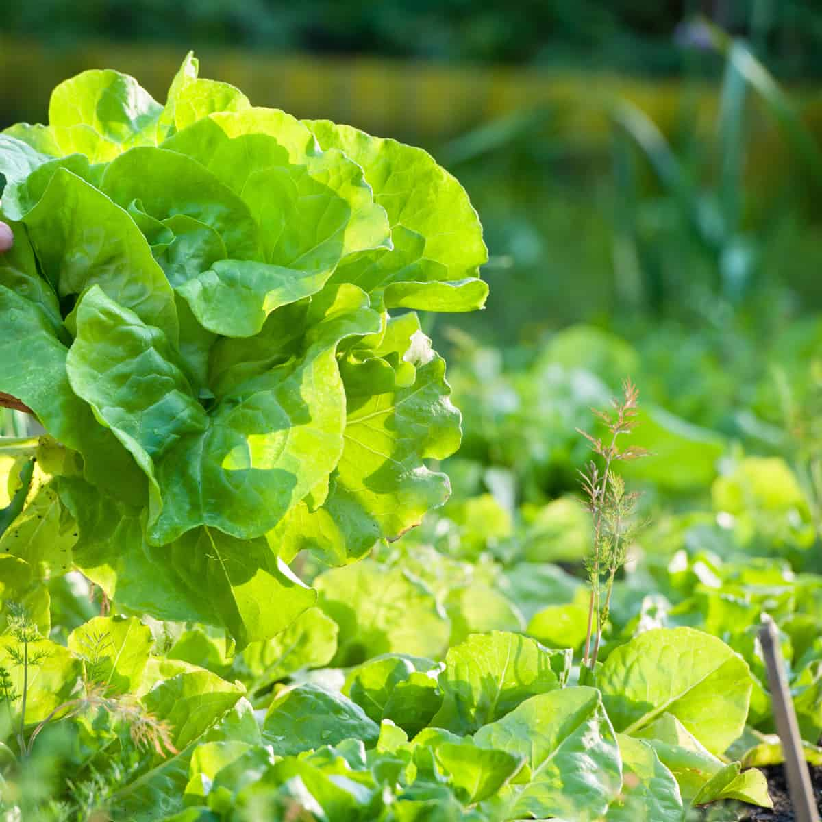 leaf lettuce is one of the easiest vegetables to grow