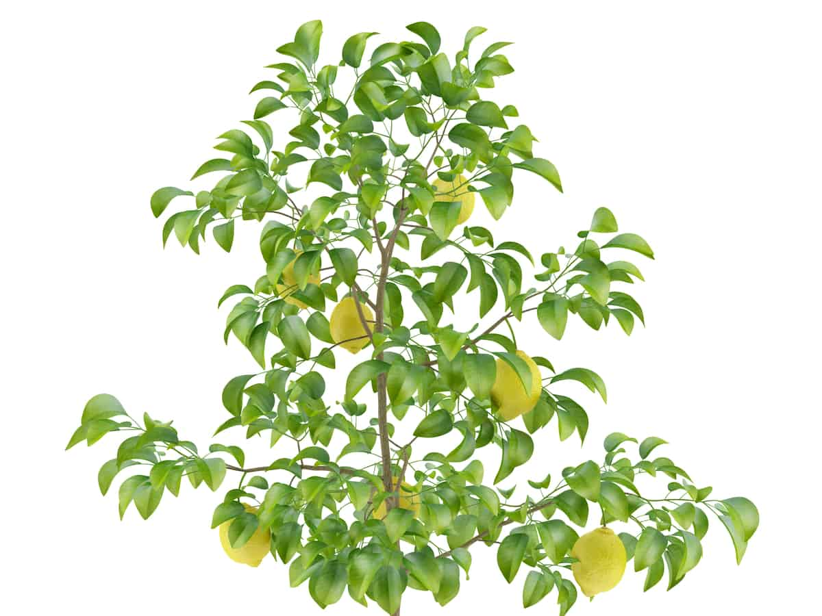 by growing a lemon tree in a container, you can have fruit year-round