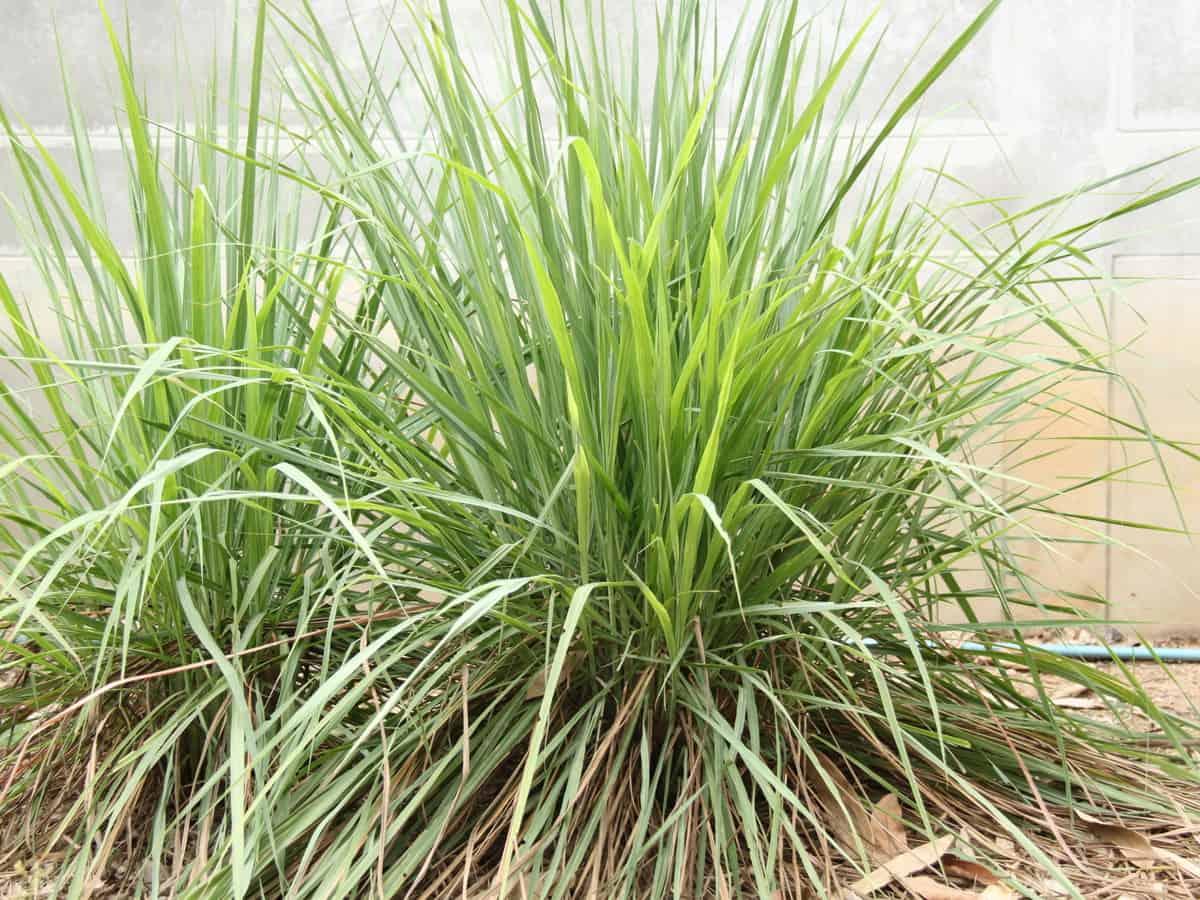 lemongrass repels mosquitoes