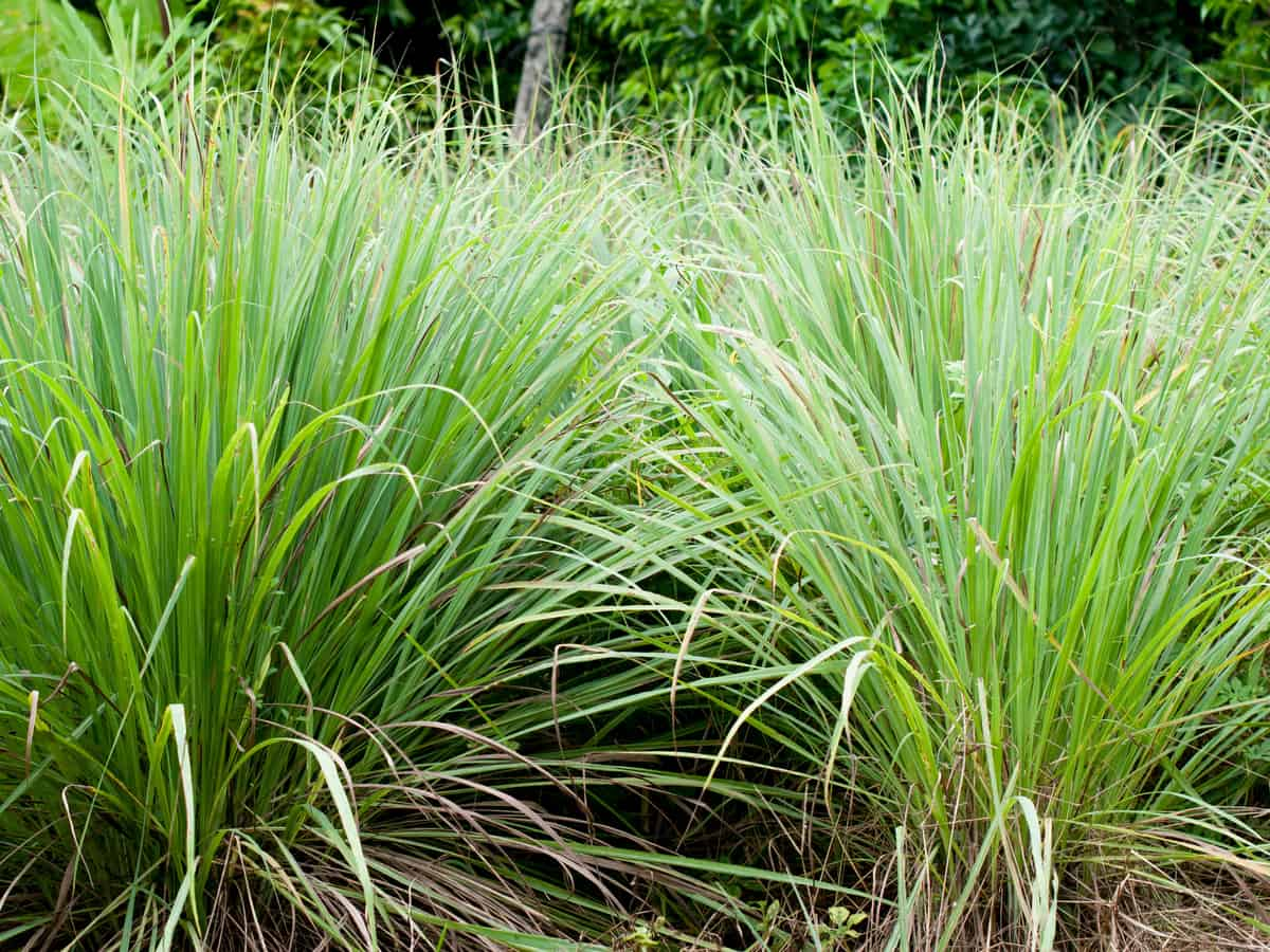 lemongrass is an ornamental herb with a citrus scent