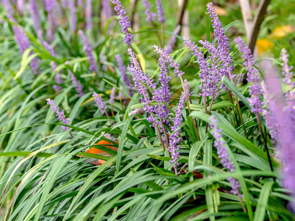 lilyturf or liriope is ideal as an ornamental border plant