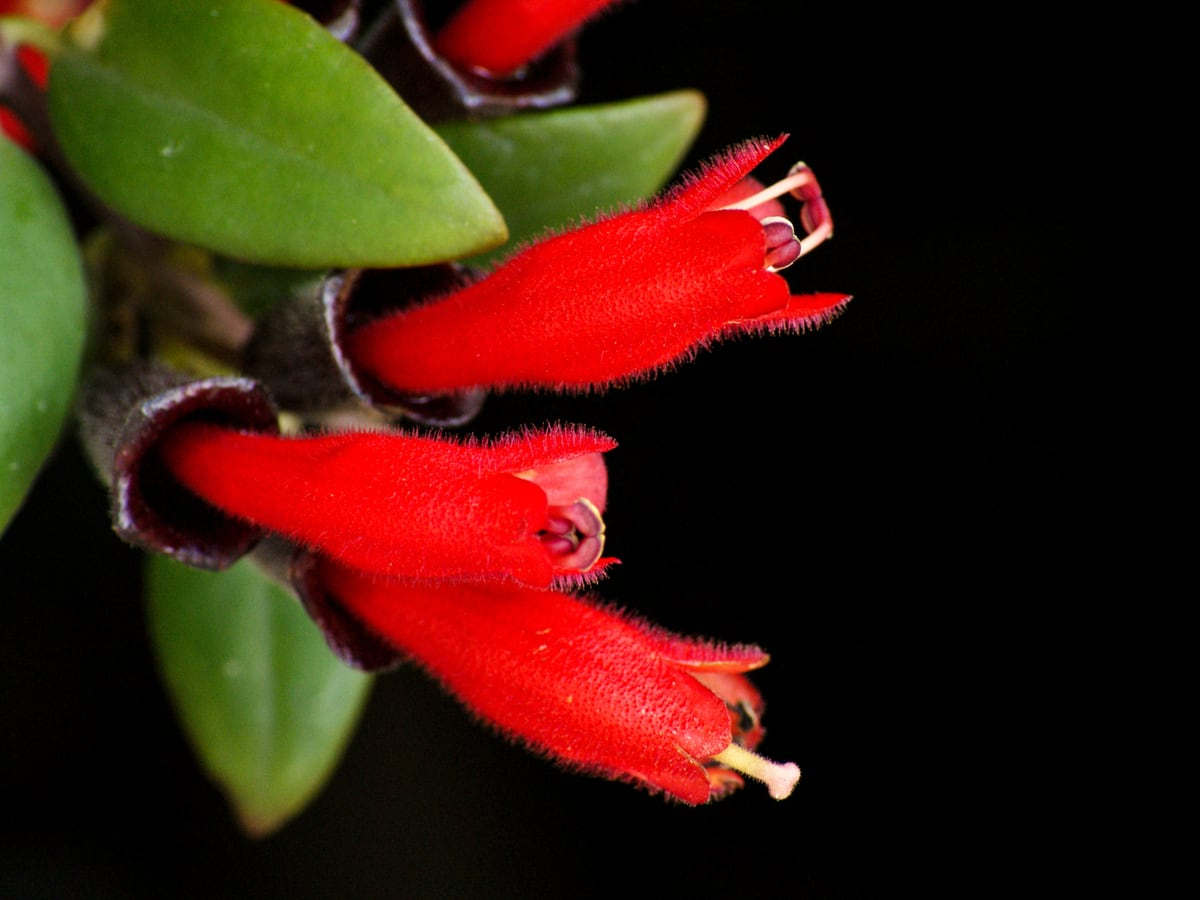 the lipstick plant likes shade