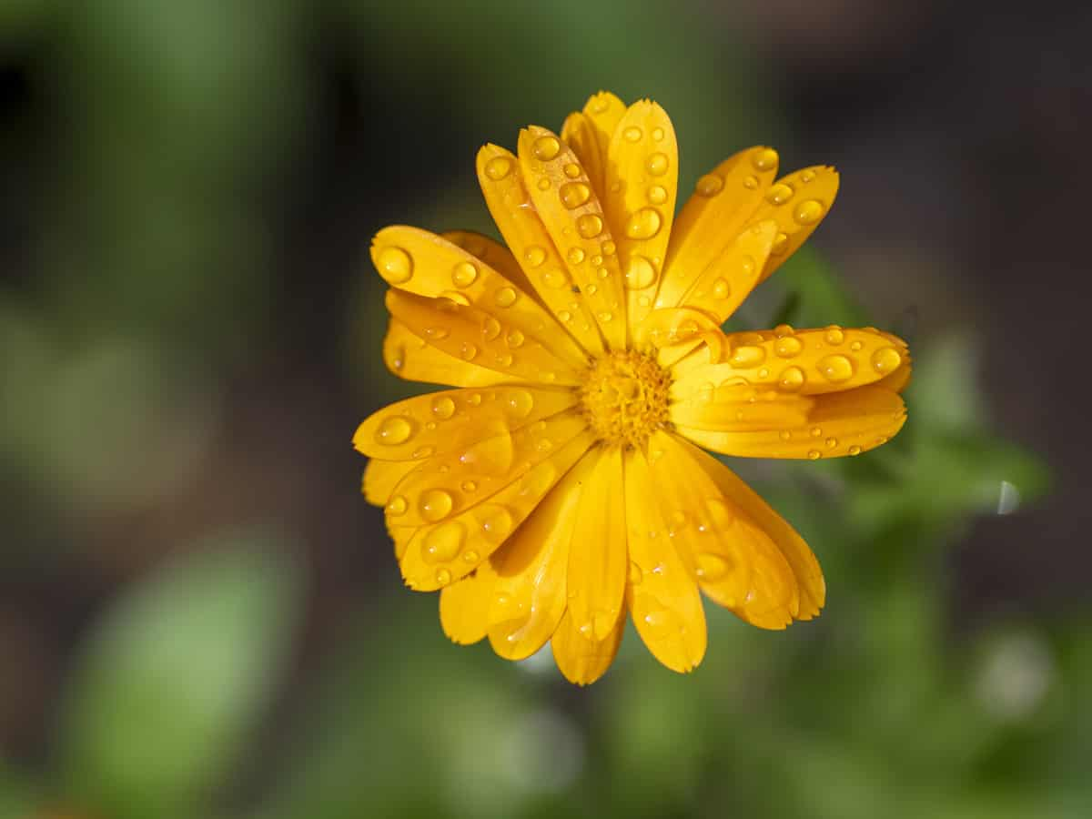 the marigold has edible flowers
