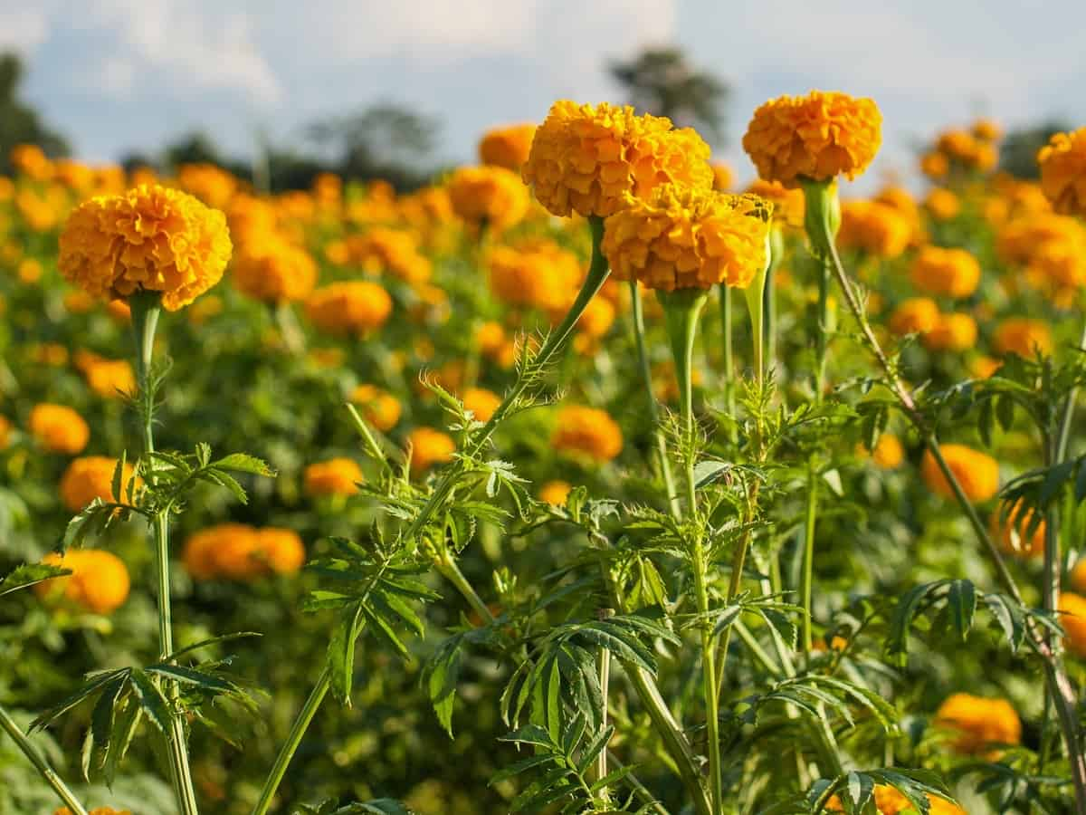 marigolds are easy plants to grow