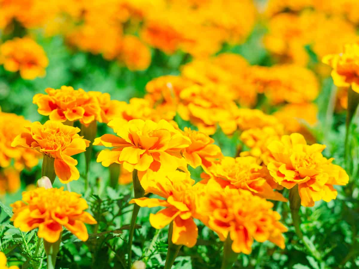 common marigold is a showy flower