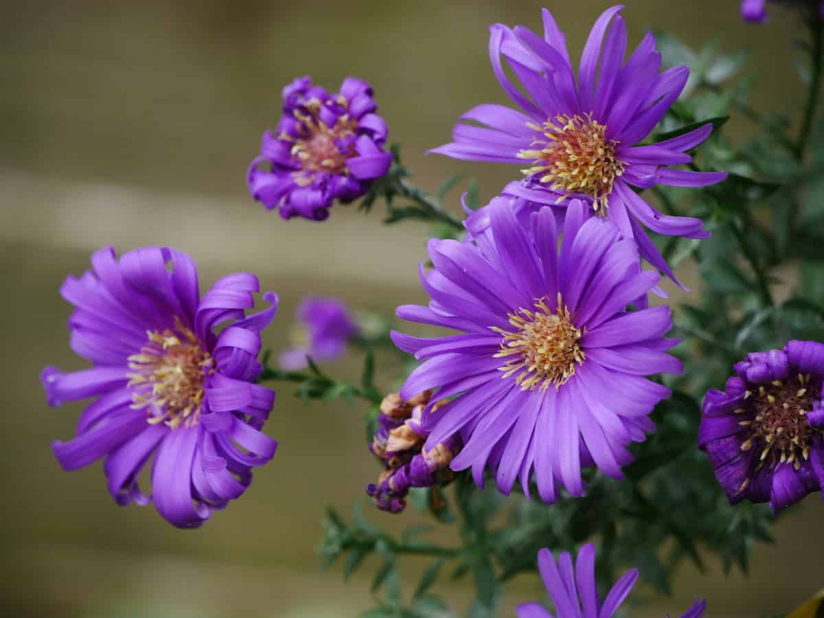 Michaelmas daisy has a long blooming period