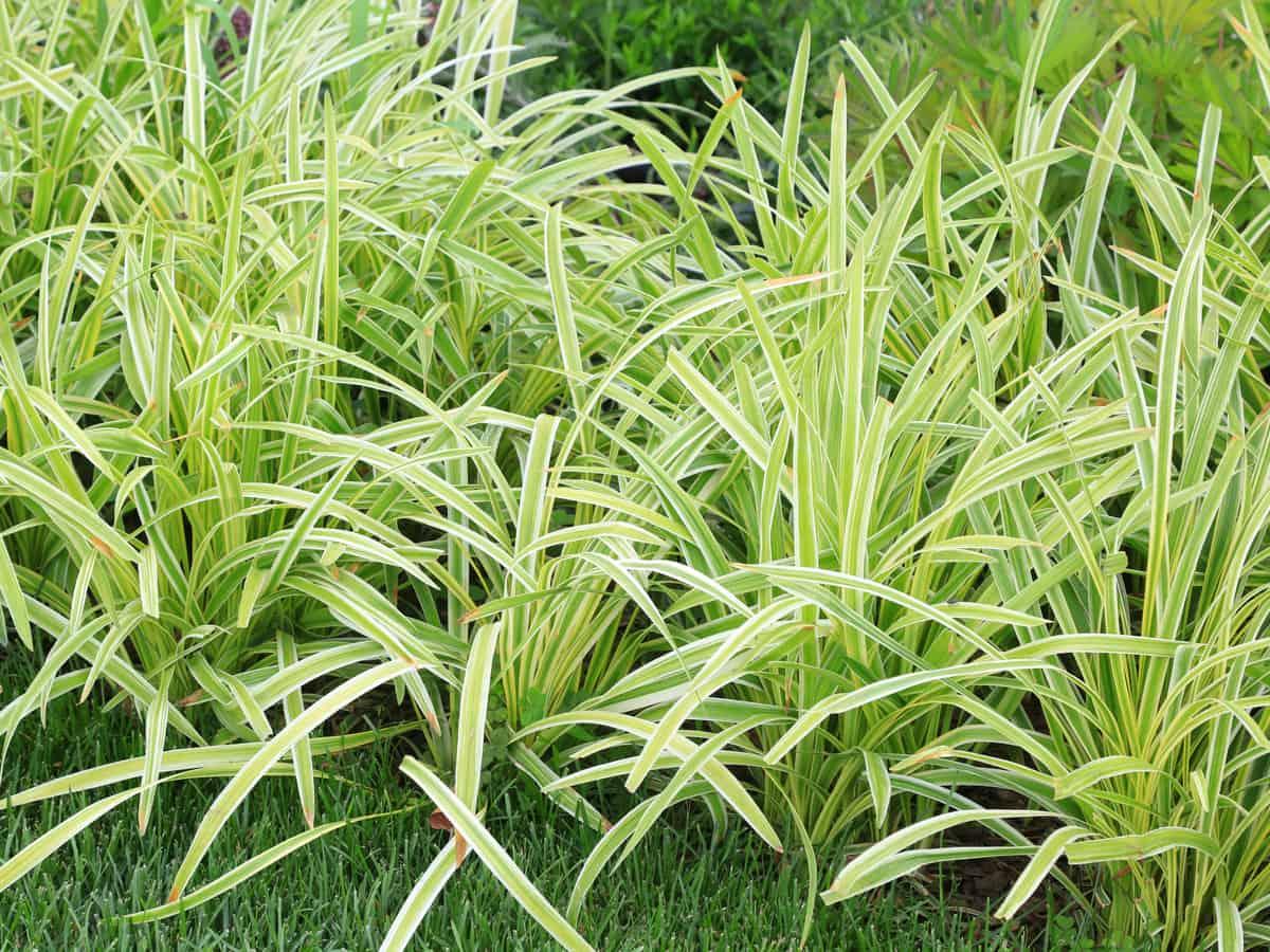 mondo grass is an attractive low maintenance perennial