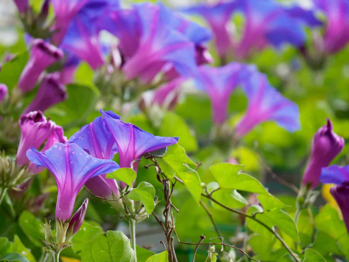 morning glory looks great on a trellis or in a basket